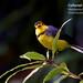 Collared Redstart, Myioborus torquatus