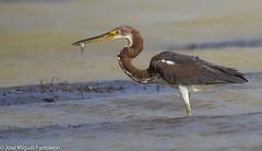 1- Esta va dedicada a los jvenes que se creen que todo lo saben!! Esta es una garza pechiblanco juvenil  que se cree tan grande que ya sabe pescar y tan joven que acaba de fallar y de perder al pez  que  ya haba logrado! (Cimarrn Mayor !!!7,000.000 DE VISITAS, GRACIAS!!) Tags: 221 221explore explore 22116082016 explore16082016 ave bird oiseau vogel uccello pssaro  ptak  fgel lintu ptek ptica  cimarrnmayor panta josmiguelpantalen 7dmarkii canoneos7dmarkii canon7dmarkii naturaleza libertee telefoto700mm dominicano fauna libre libertad montaas ordenciconiiformes familiaardeidae generoegretta garzapechiblanco garzatricolor inmadura nombrecientficoegrettatricolor nombreinglestricoloredheron inmature lugardecapturalagunadeoviedo lagunaoviedo repblicadominicana dominicanrepublic quisqueya caribe caribean