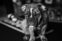 Aramis (!ProPixel!) Tags: dog old english bulldog partner friend family