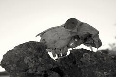 Silencio II (lapsus.cream) Tags: calavera skull muerte death naturaleza silencio silence