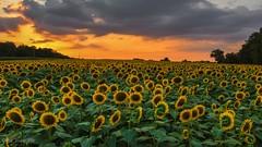 Summer Sunflower Sunset (the_lowe_life) Tags: lightroom adventure travel kentuckykicksass sun nikkor dslr clouds yellow orange farm flowers summer field d7200 nikon lexington kentucky goldenhour sunset sunflower