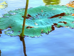 The beauty of a droplet! (Digidoc2) Tags: waterlillies leaves water droplet reflections nature beauty corroboreebillabong northernterritory australia