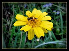 in der Blumenwiese (karin_b1966) Tags: blume flower blte blossom pflanze plant garten garden natur insekt insect 2016 kronenwucherblume gemeinesonnenschwebfliege yourbestoftoday