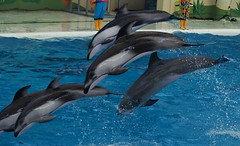 Pacific white-sided dolphins and Bottlenose dolphin (EmilyOrca) Tags: dolphin lag aquarium cetacean show jump bow water pool splash body marine mammal