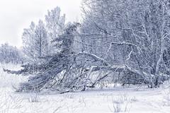 The Abundant Snowfall [January 2016] (ZoeEnPhos) Tags: sandemar snowfall winter pine seashore naturereserve landscape canonef70200mmf28lisusmii canoneos5dmarkiii