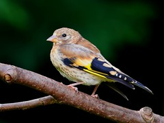 Juv. Goldfinch, Garden, 5th August 2016 (Lathers) Tags: juvgoldfinch garden 5thaugust2016 cardueliscarduelis canonef500f4lisusm canoneos1dx nuneaton warwickshire