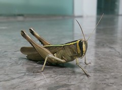 A Grasshopper (DS Taneja) Tags: grasshopper insect macroinsectes allnaturesparadise