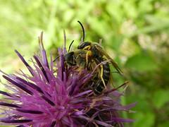 Campo 8-8-2016 467 (Merintia) Tags: laguarguera abejas