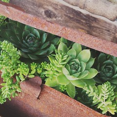 Succulents (MDawny72) Tags: succulent garden gardening containergardening plants greenthumb whimsical whimsy whimsicalgarden hershabbychateau rusty rustygold august 2016 mygarden myporch funkyjunk funky myhome