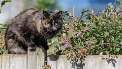 Fluffy Climbs The Fence (Unintended_Keith) Tags: fluffy cat cute climb fence garden female canon1dx sigma150600mms