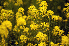 L1008474c (haru__q) Tags: leica m8 leitz summicron field mustard  bee