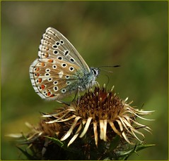 Male Adonis Blue - nectaring on Carline Thistle (glostopcat) Tags: adonisbluebutterfly butterfly insect invertebrate wildflower carlinethistle glos nationaltrust stroud swelshillbank summer