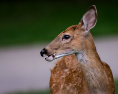 BoyFawn (jmishefske) Tags: greenfield county wildlife buck d7100 westallis whitetail wisconsin august fawn park 2016 nikon deer milwaukee