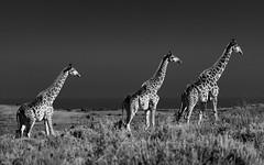 Giraffe (Ron Scubadiver's Wild Life) Tags: south africa nikon 70300 outdoors safari monochrome giraffe sky