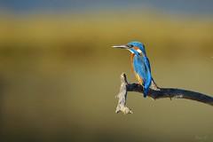 Avant le gouter  (Martin pcheur, Lac du Tolerme, Lot, France) (Bni.F) Tags: martinpecheur bluebird lacdutolerme flou bokeh