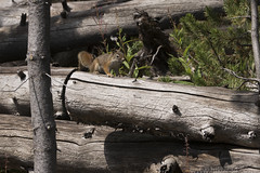 """Red Tree Squirrel • <a style=""""font-size:0.8em;"""" href=""""http://www.flickr.com/photos/63501323@N07/29827358754/"""" target=""""_blank"""">View on Flickr</a>"""