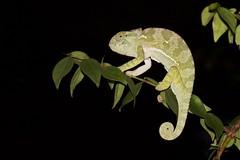 Anchieta's Chameleon (Chamaeleo anchietae) (piazzi1969) Tags: chameleons herps wildlife nature canon eos 7d ef100mm africa afrika muxima night chamealeoanchietae anchietaschameleon angola