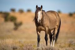 Proud Mustang Stallion (jeff_a_goldberg) Tags: utah sanrafaelswell wildlife nature mustangs horses horse stallion mustang greenriver unitedstates us