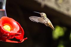Hummingbird ((Jessica)) Tags: rufous allens hummingbird bird wildlife losangeles california flight feeder wildlifewednesday animal