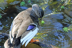 Duck (iansand) Tags: warriewood duck