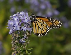 Monarch, female (Danaus plexippus) (AllHarts) Tags: femalemonarchdanausplexippus dixongardens memphistn butterflygallery naturescarousel ngc