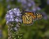 Monarch, female (Danaus plexippus) (AllHarts) Tags: femalemonarchdanausplexippus dixongardens memphistn butterflygallery naturescarousel ngc challengeclubchampions