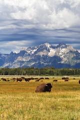 (~Abby) Tags: wyoming grandtetons bison buffalo july mountain