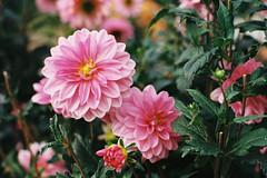 Addiction. (Hello i'm Wild !) Tags: analog film 35mm canonae1 colors bokeh dof light nature plants dahlia pink kodakgold200