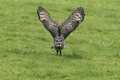 Great Grey Take Off (Gary Hickson Photography L.R.P.S.) Tags: greatgreyowl owl owls flight nature bird raptor finland russia