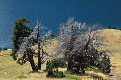 shining (vil.sandi) Tags: shining lacdeloule mountainpine bergkiefern leaflessoldtree pyrenen frankreich
