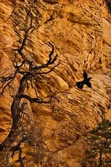 Winged (TwinCitiesSeen) Tags: crow redrockcanyon nevada twincitiesseen canont3i tamron2875mm