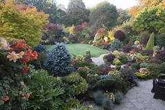 Colours of mid autumn at entrance to garden (October 21st) (Four Seasons Garden) Tags: four seasons garden uk england autumn october 2016 colours foliage japanese yorksone maple acer ornamental conifers evergreens sunlight begonia flowers red blue yellow orange palmatum