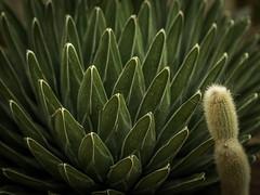 Kaktus (olipennell) Tags: botanischergarten kaktus mnchen nymphenburg pflanze