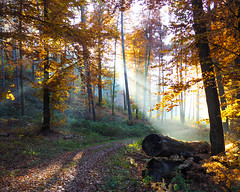 The path to enlightenment (DoMaGo) Tags: forest path leafs autumn light rayoflight golden trees luxembourg omd olympus trunk treetrunk steinsel