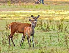 Deers (John van Beers) Tags: cervuselaphus hogeveluwe parkhogeveluwe bronst bronstexcursie deer edelhert hert reddeer