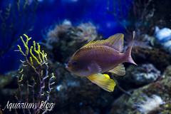 Anthias anthias (AquariumBlog.es) Tags: acuario aquarium peces fish pez marino saltwater water freshwater dulce agua corales payaso clown sepia acantharus pterois pomacanthus barcelona arrecife reef