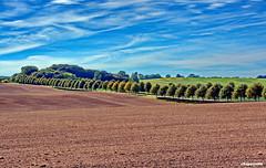 Baumreihen in der Landschaft schlicht und gradlinig (garzer06) Tags: wolken himmel wolkenhimmel baum baumreihen blau weis braun grn deutschland vorpommernrgen insel vorpommern rgen mecklenburgvorpommern bume landschaftsbild landscapephotography landschaftsfoto landschaftsfotografie naturephotography naturfoto acker landscapephoto