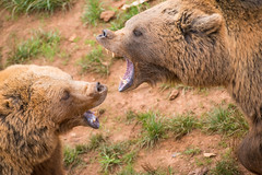 BEARDIGHT2 (Aitzol Arruabarrena) Tags: cabarceno d800 tokina 300 animals animaliak