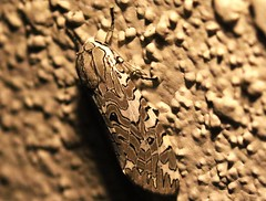 Painted Arachnis moth, Arachnis picta (bruce_aird) Tags: