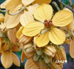 #Yellow #flower (roizroiz) Tags: yellow interestingness flickr amarelo yesterday mothernature i500 interesantsimo photophotospicpicspicturepicturessnapshotartbeautifulflickrgoodpicofthedayphotoofthedaycolorallshotsexposurecompositionfocuscapturemoment flowersflowerpetalpetalsnaturebeautifulloveprettyplantsblossomsoprettyspringsummerflowerstagramflowersofflickrflowerstylesgfflowersloversflowerpornbotanicalfloralfloralsflickrpickblossomflowermagicflickrbloomsbloombloomsbotani