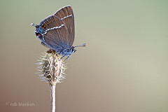 Blue-spot Hairstreak (Satyrium spini, wegedoornpage) (Rob Blanken) Tags: macro butterfly spain andalusie bluespothairstreak satyriumspini nikond800 wegedoornpage wegedoornpagesatyriumspini sigma180mm128apomacrodghsm