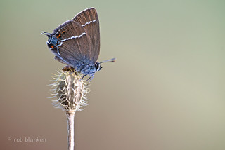 Blue-spot Hairstreak (Satyrium spini, wegedoornpage)