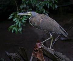 Bare-throated Tiger-Heron, Tigrisoma mexicanum (David Ascanio (VENT & Ascanio Birding Tours)) Tags: costa bird vent la birding rica quinta sarapiqui victoremanuelnaturetours davidascanio abtbirds