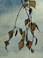 Birch and beautiful (Dazzygidds) Tags: nottingham waiting beeston nottinghamshire autumnalleaves hangingaround birchtreeleaves padgeroad