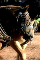 Horse Power (ChillyMnFilly) Tags: horse belgian workhorse