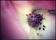 Pink Rose Fold (Firery Broome) Tags: pink brown white flower macro nature closeup dof cream cellphone center stamen delaware 365 newark phonephoto apps iphone naturelovers ipad universityofdelaware oldrose flouncy earthnature phoneography delawarenature iphoneography externallens ipaddarkroom olloclip snapseed iphone5s curvespetals