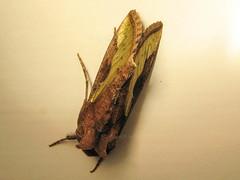Golden Plusia, Ferndale, Randburg, Jan 2012 (roelofvdb) Tags: place moth randburg goldenplusia trichoplusiaorichalcea january2012
