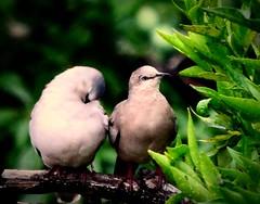 Ashamed & angry (alvesmateus000) Tags: verde green bird primavera birds spring couple aves angry ashamed