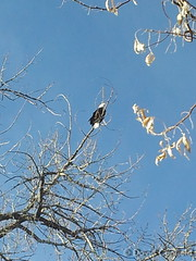 December 27, 2014 - A bald eagle takes in the sun at McKay Lake in Broomfield. (David Canfield)
