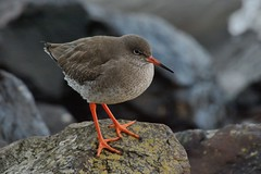 Redshank. (stonefaction) Tags: nature birds ferry scotland dundee wildlife broughty redshank balmossie explored